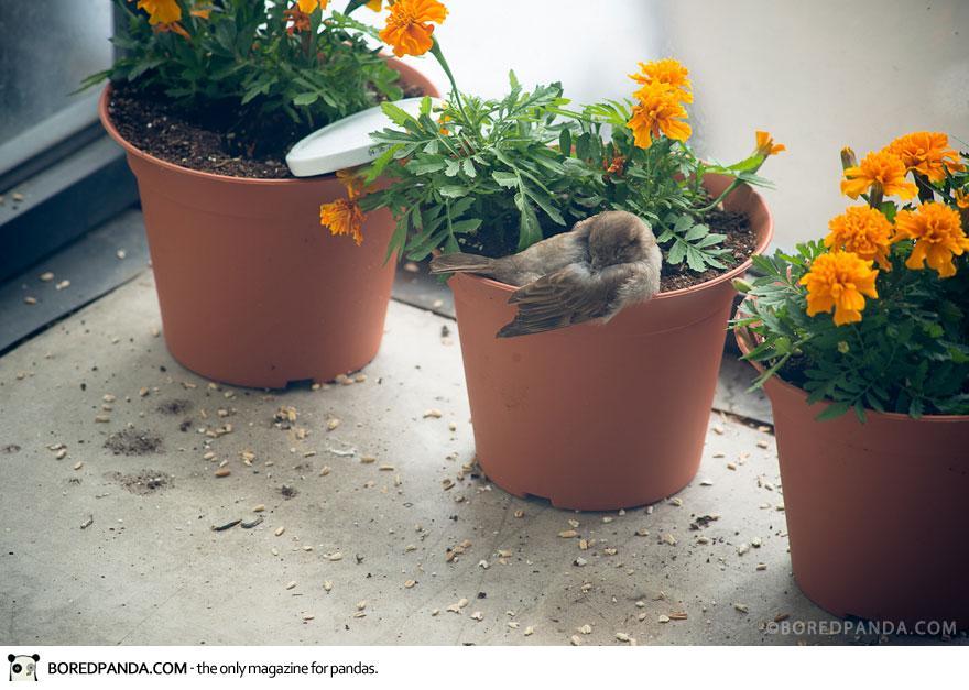 found-blind-baby-sparrow-below-my-balcony-880-7
