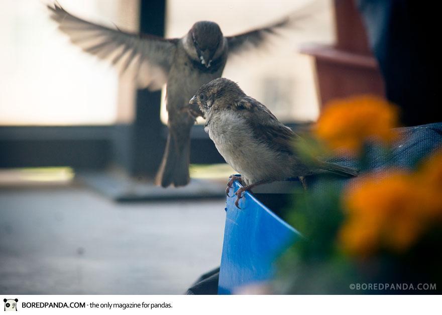 found-blind-baby-sparrow-below-my-balcony-880-9