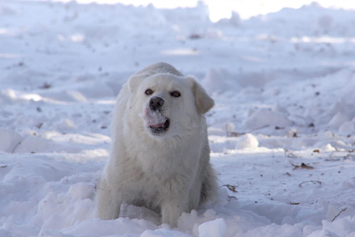 白い 雑種 食べる 雪