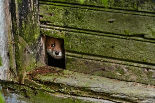 amazing-fox-photos-19