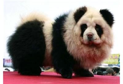 パンダみたいなチャウチャウ