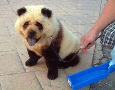 【画像】完全にパンダにしか見えない犬が今、中国で大人気! Netgeek