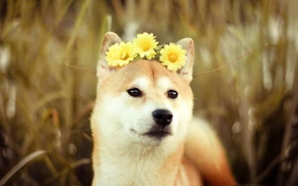 花の冠をかぶった柴犬