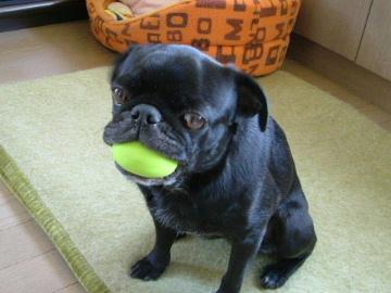 ボールを咥えたパグ