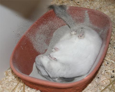 Chinchilla_beim_baden