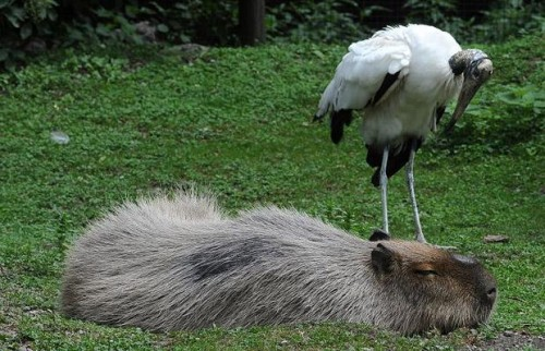 capybara__1422528i
