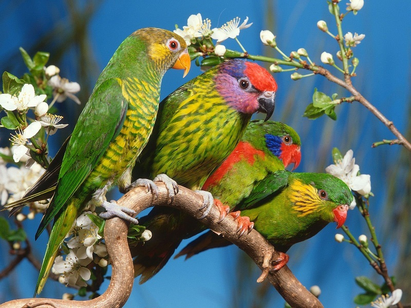 animals_beautiful_extraordinary_wild_birds_parrot_branching_picture-22