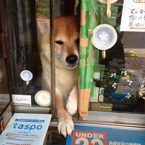 dog-opens-counter-window-shiba-inu-doge-7