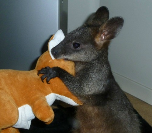 kangaroo1 (14)