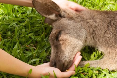 kangaroo1 (16)