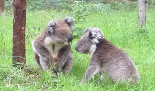 koalafight