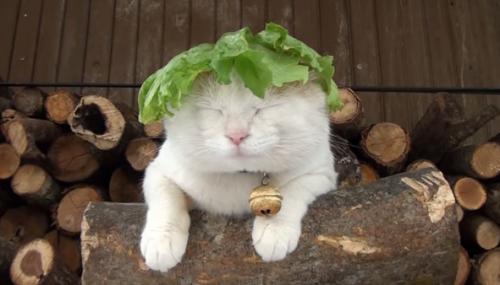 lettucecat