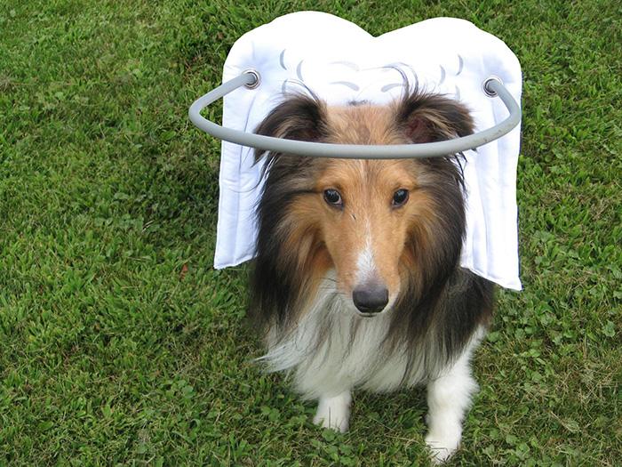 blind-dog-safety-device-muffins-halo-12