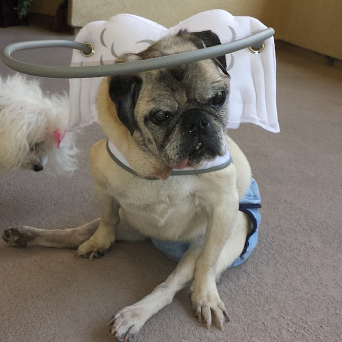 blind-dog-safety-device-muffins-halo-15