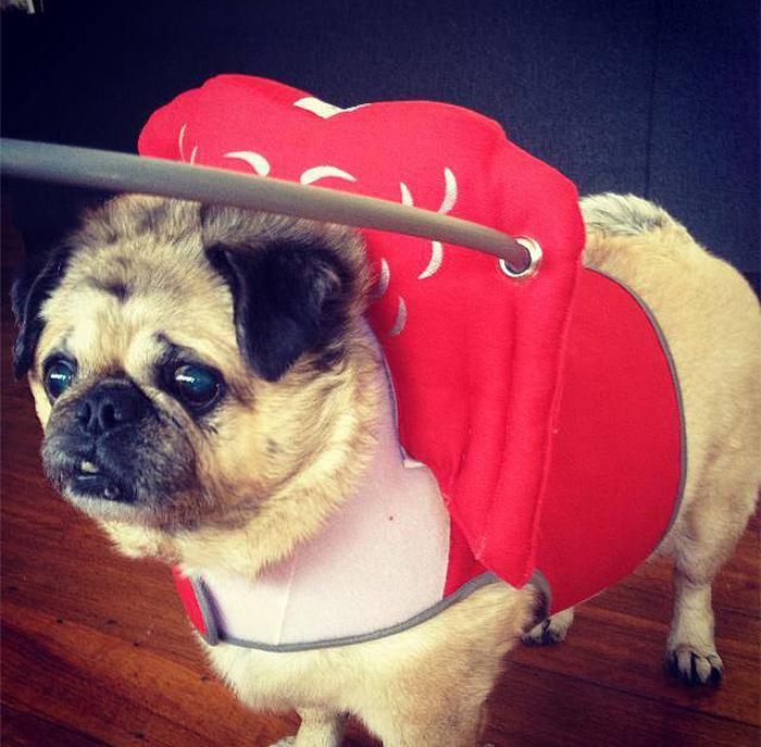 blind-dog-safety-device-muffins-halo-4
