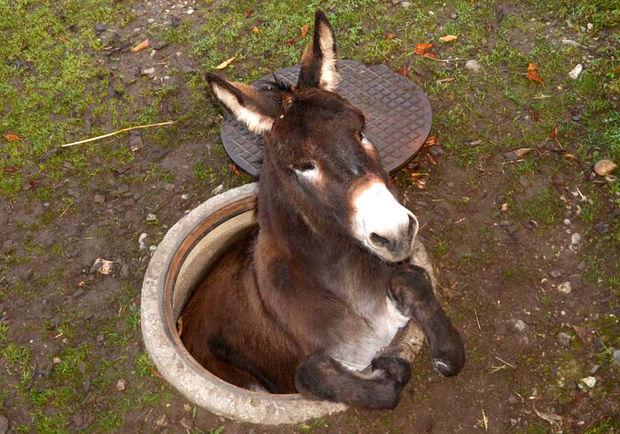 donkey_in_manhole