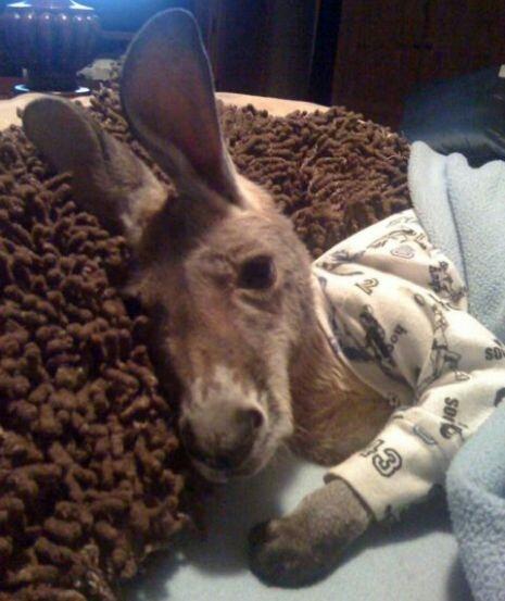 kangaroo_pet (11)