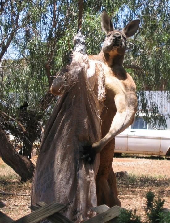 kangaroo_pet (6)