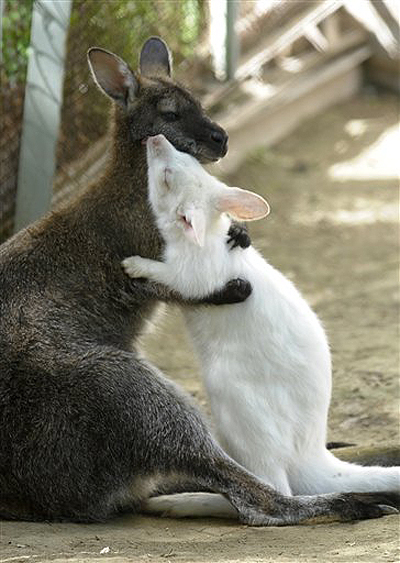 kangaroo_pet (8)