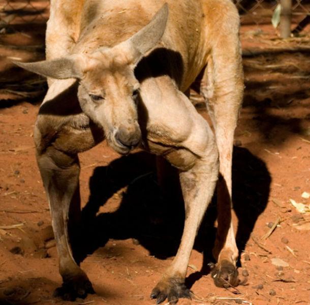 kangaroo_pet (9)