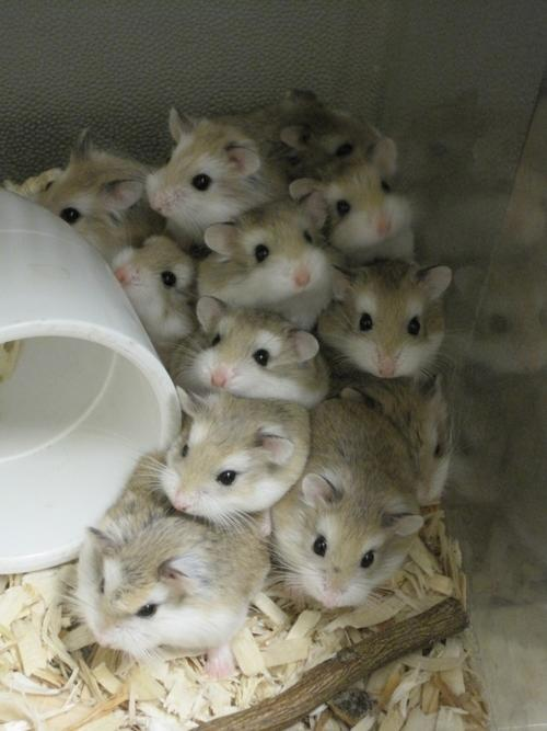 hamster_cute (17)