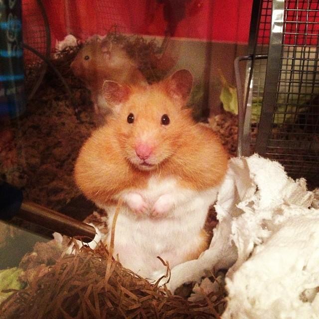 hamster_cute (6)