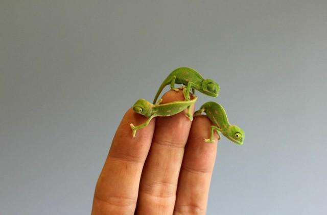 chameleonBABY (3)