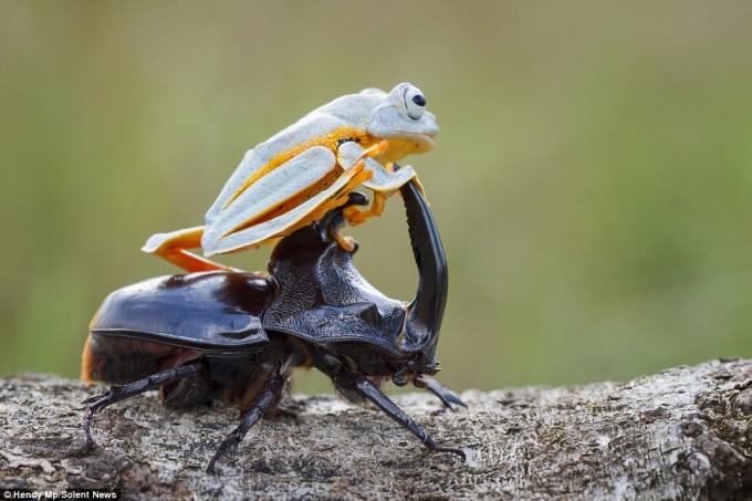 frog_beatle (1)
