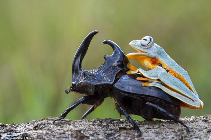 frog_beatle (2)