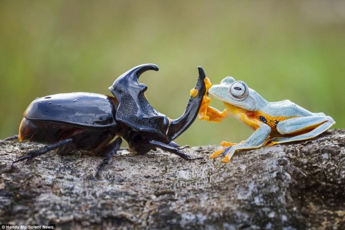 frog_beatle (7)