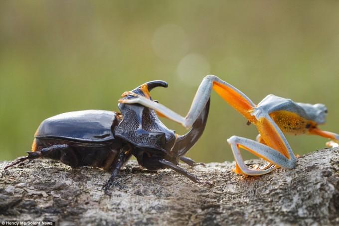 frog_beatle (8)