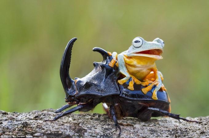 frog_beatle (9)