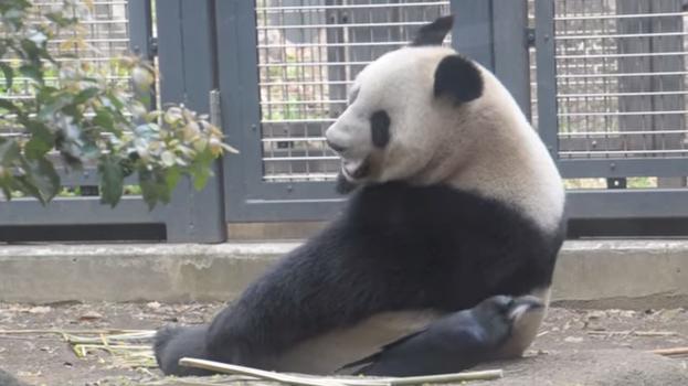 panda_bold1