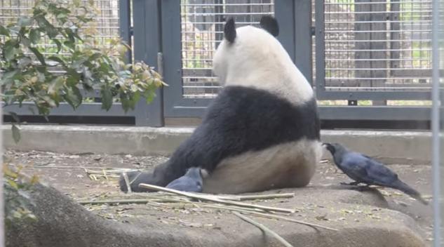 panda_bold3
