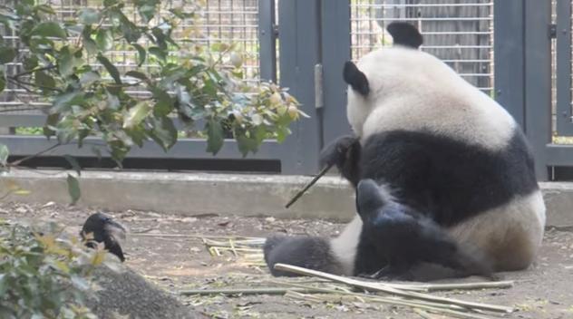 panda_bold5