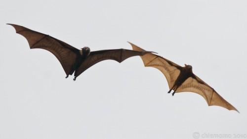 Pteropussscapulatus,Pteropussconspicillatussk1k