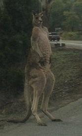 macho_kangaroo3