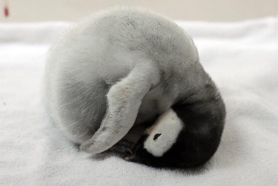 丸々ペンギン