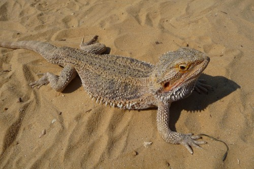 Pogona_vitticeps_close-up_2009_G3