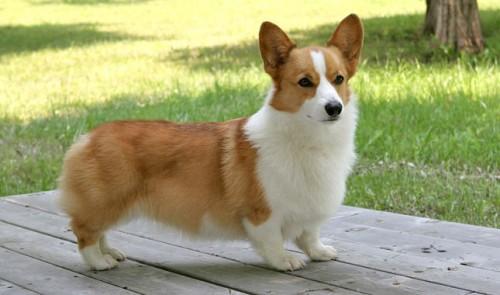 dog_corgi_hasky1