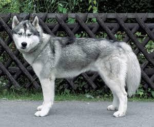 dog_corgi_hasky2