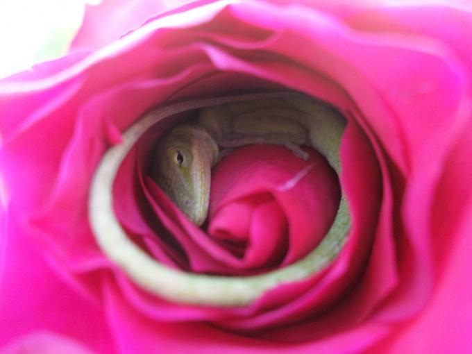 lizard_rose (3)