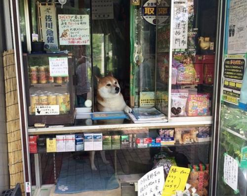 1104suzuki_shiba7
