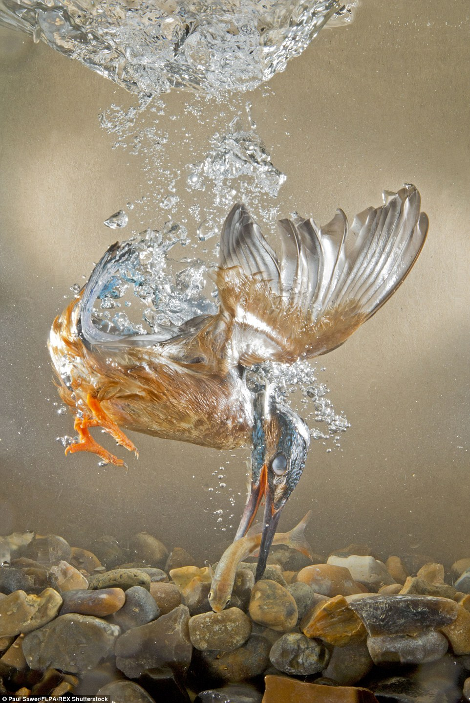 水中のカワセミ