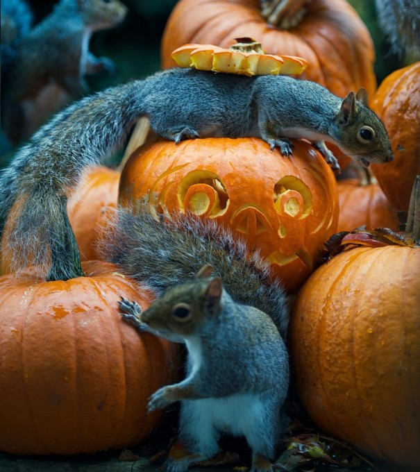 1111squirrel_pumpkinsquirrel-steals-carved-pumpkin-max-ellis-2