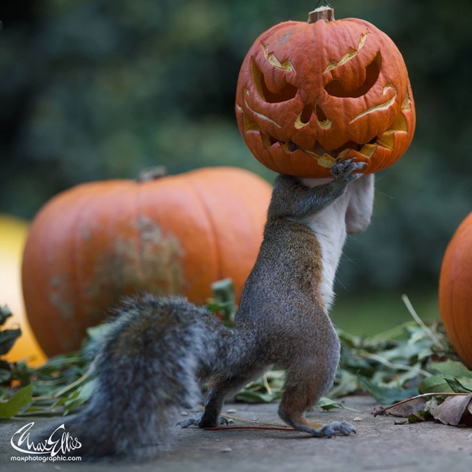 1111squirrel_pumpkinsquirrel-steals-carved-pumpkin-max-ellis-6