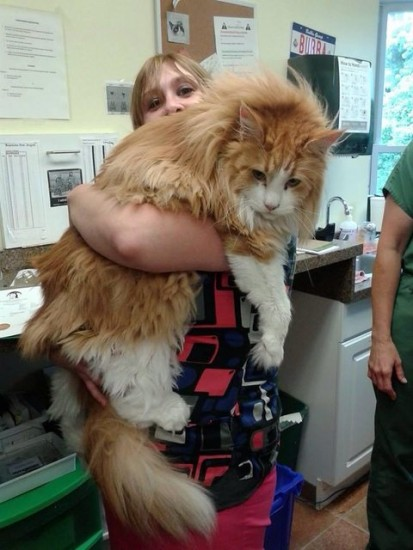 1129maine_coon10
