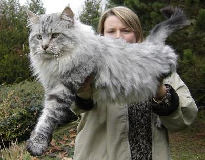 1129maine_coon14