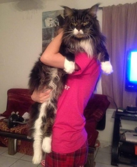 1129maine_coon16