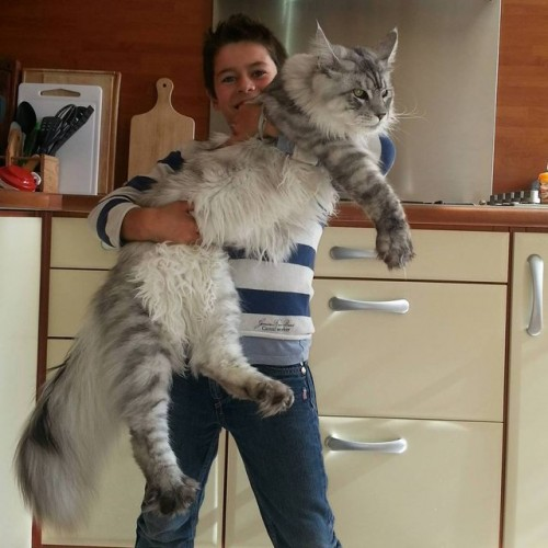 1129maine_coon6